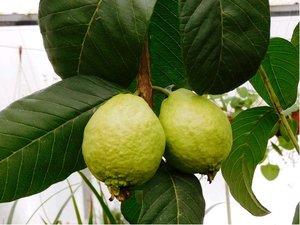 Guave -  velkoplodá kvajáva