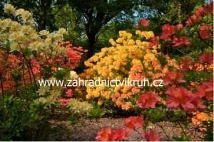 Azalka - směs barev