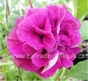 Surfinie plnokvětá Rosella Improved - tmavě růžová