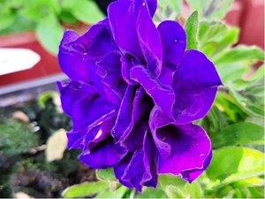 Surfinie plnokvětá Belinda - tmavě modrá
