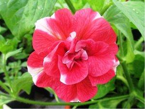 Surfinie plnokvětá Cherry Ripple Red - bíločervená