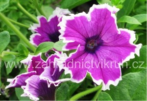 Surfinie Corona Amethyst - fialová s bílým okrajem
