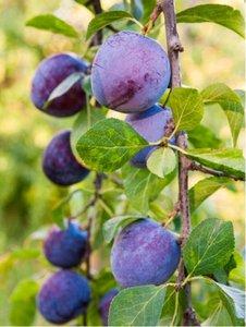 Slivoň IMPERIAL pro sloupovité pěstování - podnož Myrobalán