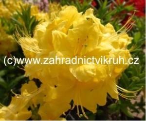 Azalka velkokvětá Anneke - žlutá