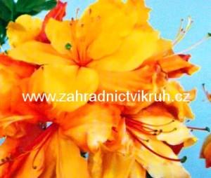 Azalka Sunte Nectarine - žlutá