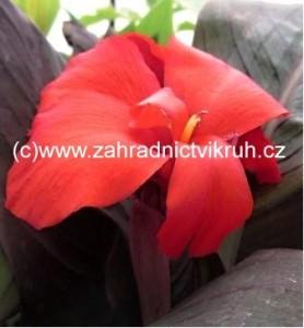 Canna Scarlet Bronze Leaf - červená s červeným listem