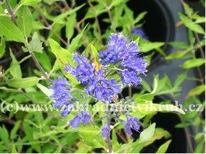 Ořechoplodec ´Heavenly Blue´ - Caryopteris clandonensis ´Heavenly Blue´