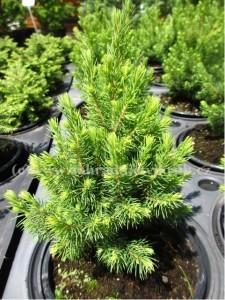 Smrk sivý ´Rainbow´s End´ - Picea glauca ´Rainbow´s End´