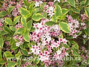 Weigela florida ´Nana Variegata´ - bílo-růžová, C 2 l