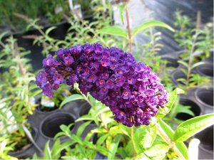 Buddleja BLACK KNIGHT - fialová