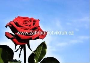 Růže velkokvětá CHRYSLER IMPERIAL - tm. červená, sametová