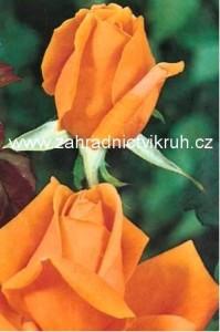Růže velkokvětá DORIS TYSTERMAN - žlutooranžová