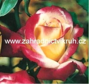 Růže velkokvětá DOUBLE PERFUME - žlutá s červeným okrajem