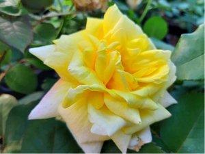 Růže GOLDEN PERFUME - pnoucí, žlutá