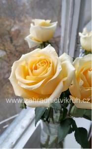 Růže velkokvětá Casanova - bílo-žlutá