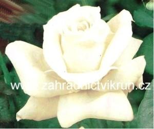 Růže velkokvětá VIRGO - bílá