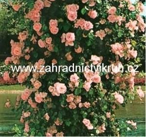 Růže pnoucí PARADE - růžová