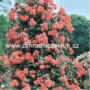 Růže pnoucí ORANGE - oranžová