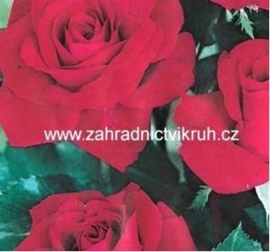 Růže polyantka RED DELIGHT - karmínově červená