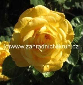 Růže polyantka GOLDEN DELIGHT - žlutá
