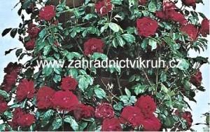Růže pnoucí KORMUN - červená