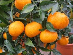 Mandarinka SATSUMA v kv�tin��i P20
