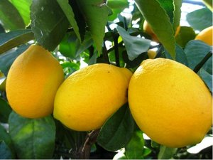 Citron�k MEYER - roubovan�