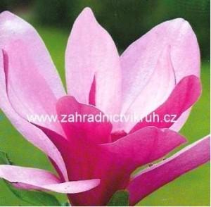 Magnolie GALAXY - růžová
