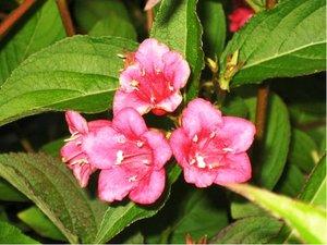 Weigela BRISTOL RUBY - purpurová, C 2 l