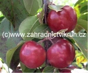 Sloupovitá jabloň MAYPOLE