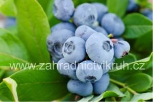 Obří kanadská borůvka DENISE BLUE 2L