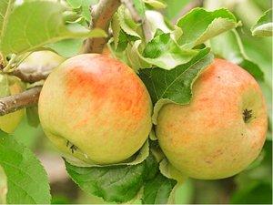 Jabloň PEASGOOD - podnož A2