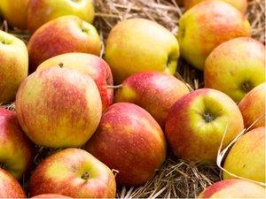 Jabloň MÍŠEŇ JAROMĚŘSKÁ v kontejneru