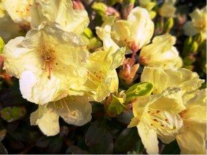 Rhododendron Wren - žlutý, extra 2L