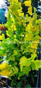 Ulmus hollandica  WREDEI - Jilm zlatý  C4l