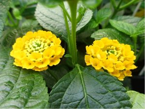 Lantana - žlutá