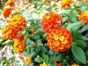Lantana - červenooranžová