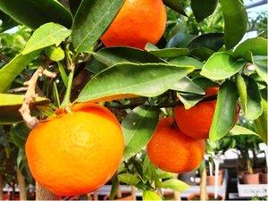Mandarinka v květináči P16