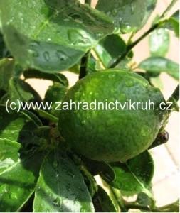 Citrus LIME v květináči P16