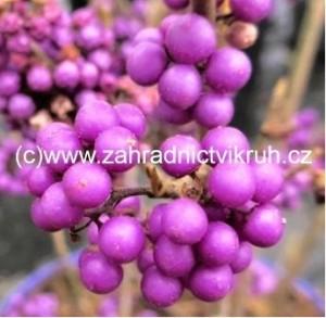 Krásnoplodka - Callicarpa bodinieri Profusion