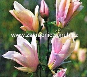 Magnolie GEORGE HENRY KERN - světle růžová