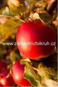 Jabloň sloupovitá VESNA - podnož MM106