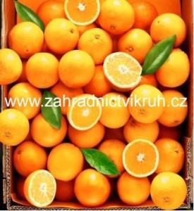 Pomeranč SKAGGS BONANZA - roubovaný