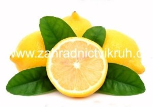 Citroník OVALE DI SORENTO - roubovaný