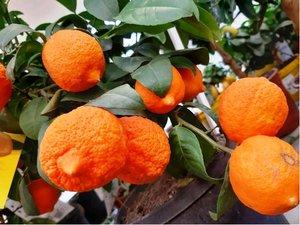 Mandarinka RANGPUR v kv�tin��i P16