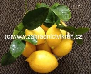 Citron�k LIMON v misce P25