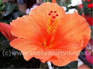 Ibišek pokojový TORINO - oranžový