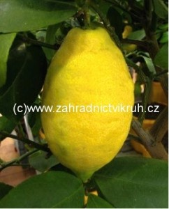Citroník LIMON v květináči P12