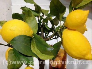 Citron�k LIMON v kv�tin��i P16