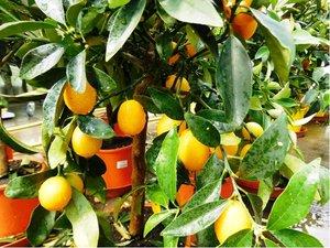 Mandarinka KUMQUAT v květináči P18